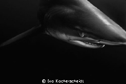 A bronze whaler photographed of Umkomaas/Aliwal shoal in ... by Ivo Kocherscheidt 